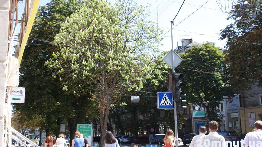 Фото дня: у Тернополі посеред серпня розцвів каштан