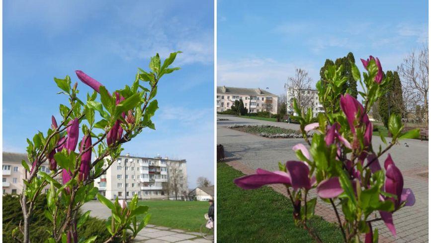 Весна вже на Тернопільщині. У Ланівцях розцвіла чарівна магнолія (ФОТО ДНЯ)