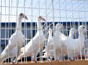 На виставку привезли голубів зі всієї України