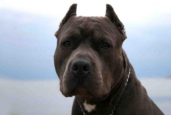 В Тернополі пітбуль загриз декоративного шпіца, бо власник вигулював бійцівського пса без намордника та повідка