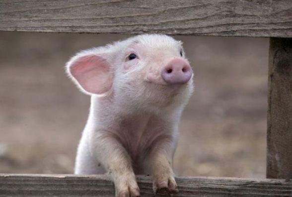 Закликають обережно вибирати свинину на ринках, адже на Збаражчині виявили африканську чуму