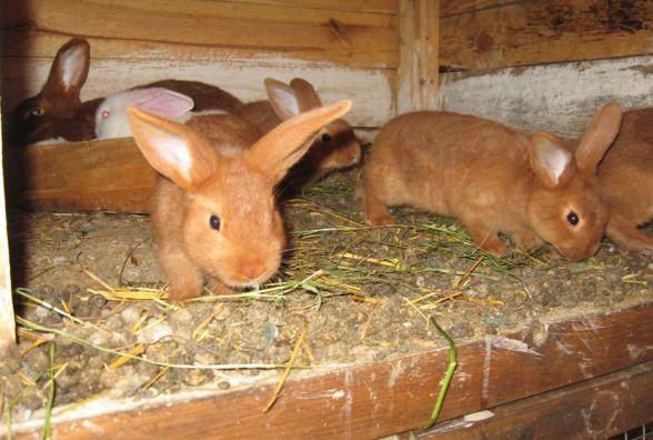 На Тернопільщині підлітки крали у односельчан кролів