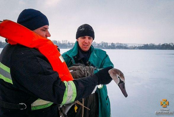 Рятувальники допомогли лебедю, який залишився в ополонці, посеред замерзлої водойми
