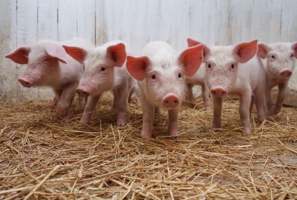 На Тернопільщині виявили африканську чуму свиней. Поліція просить бути обережними