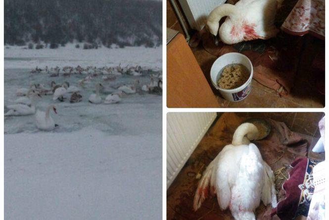У соцмережах обговорюють бідолашних лебедів, які замерзають на Борщівщині