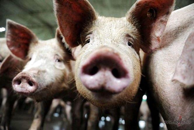 На Збаражчині виявили африканську чуму свиней