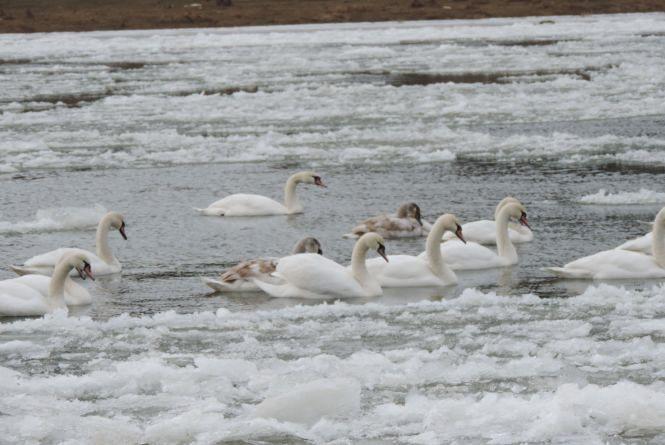 У лебедів на Дністрі виявили курячий грип