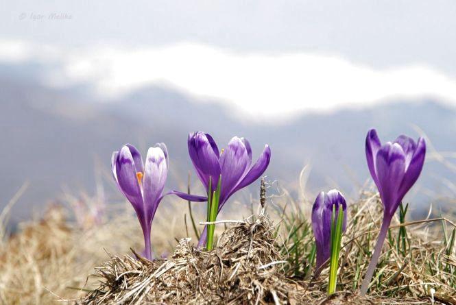 """""""Це квіти не для лінивих"""". Де можна побачити крокуси"""
