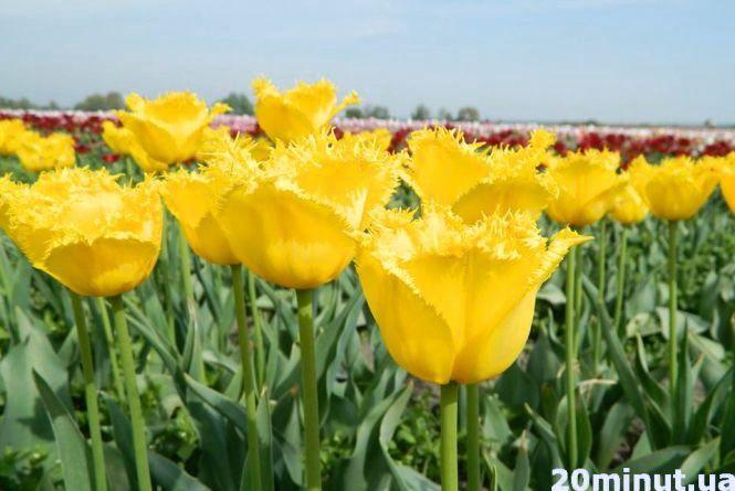 Запрошують на свято тюльпанів. Поїдьте в українську Голландію