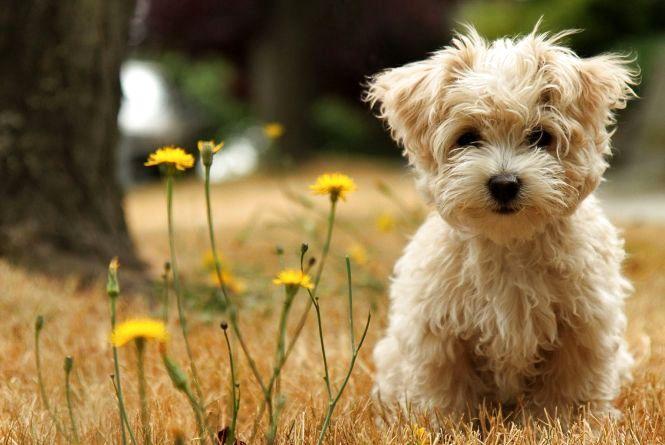 Бережіть собак — укус кліща може їх вбити