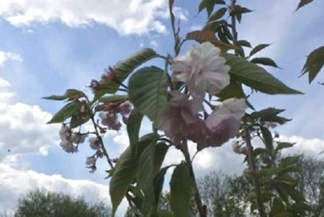 """Японські сакури поблизу """"Саду каменю"""" вкрилися цвітом"""