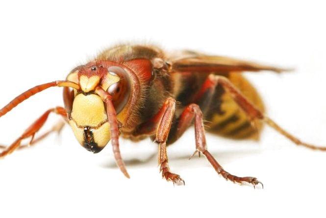 Як вберегтися від ос, бджіл та шершнів