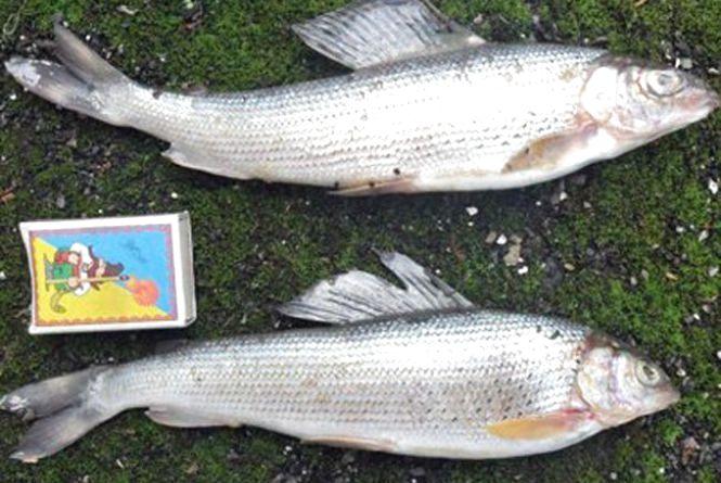 За вилов черовнокнижної риби браконьєри мають сплатити 230 тис грн.