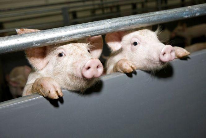 За 20 км до Лановецького району спалахнула африканська чума свиней