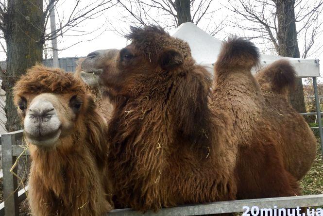 В  парку Шевченка оселились бізони, верблюди, зебри та кенгуру