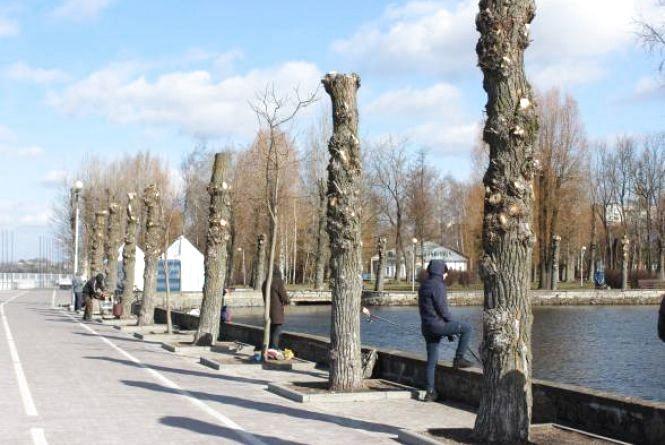 """Тернополянка просить заборонити """"омолоджувальну"""" або """"санітарну"""" обрізку дерев """"під стовб"""""""