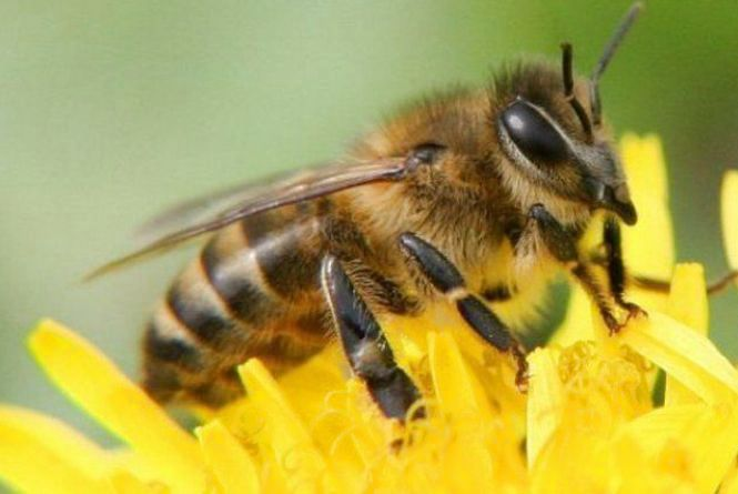 Чи можна лікуватися бджолиною отрутою, прокоментувала фахівець