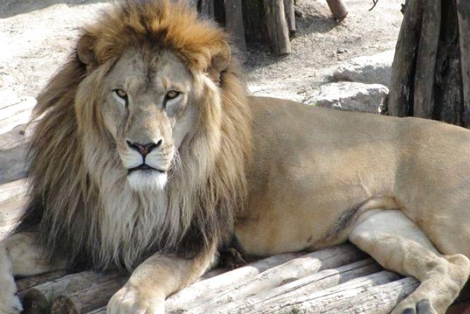 На Тернопільщині лев вдарив лапою 14-річного хлопчину