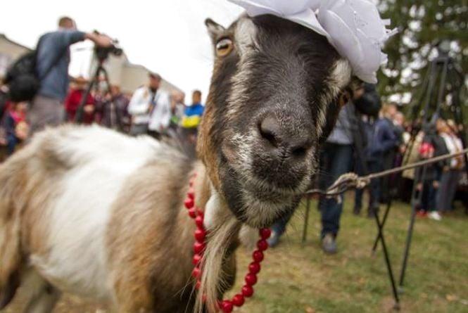 На Тернопільщині вже втретє відбудеться фестиваль присвячений козі