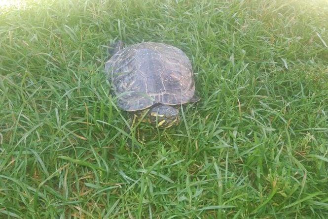 Фото дня: Житель Чортківщини на подвір'ї знайшов  велику черепаху