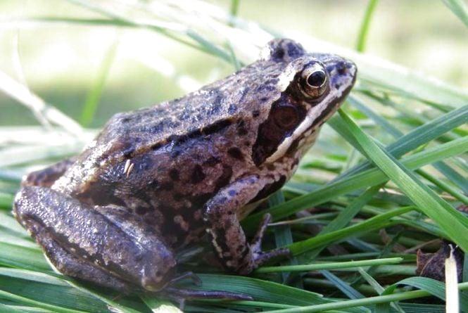 На Тернопільщині є жаби, яких краще не чіпати. Можна отримати опіки
