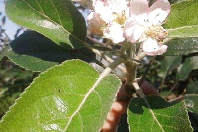 Фото дня: на Теребовлянщині  вруге за рік розцвіла яблуня