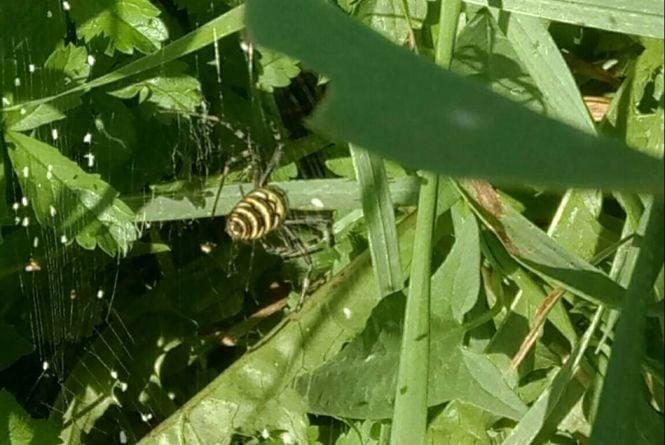 Обережно: на Тернопільщині виявили отруйного Тигрового павука