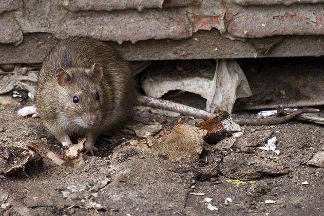 Гризуни активізуються: тернополяни все більше скаржаться на щурів