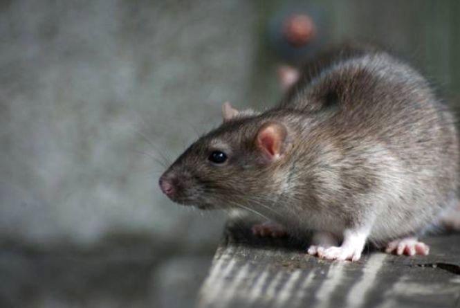 Через мишей та щурів 10 мешканців Тернопільщини захворіли на лептоспіроз