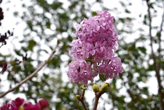 Фото дня: у Скалаті на Тернопільщині розцвів бузок
