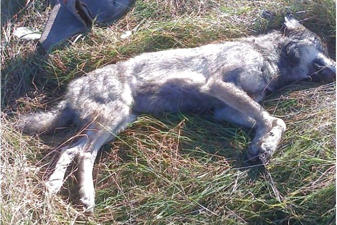"""Вбитий на Бережанщині """"вовк""""  був скаженим"""