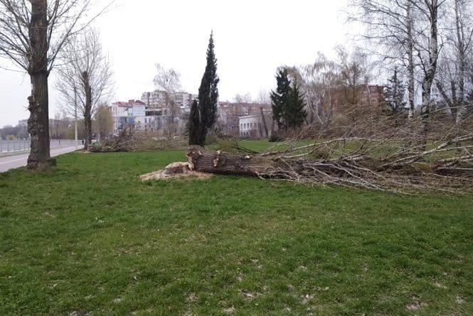 У парку Шевченка зрізали близько двадцяти дерев,  що вже почали розпускатись