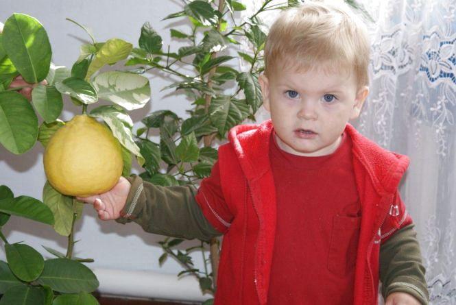 У тернополян на підвіконнях родять лимони вагою майже кілограм