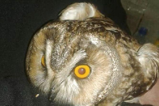 """У сови, яку чоловік знайшов на """"БАМі"""", черепно-мозкова травма. Пташка уже в Києві"""
