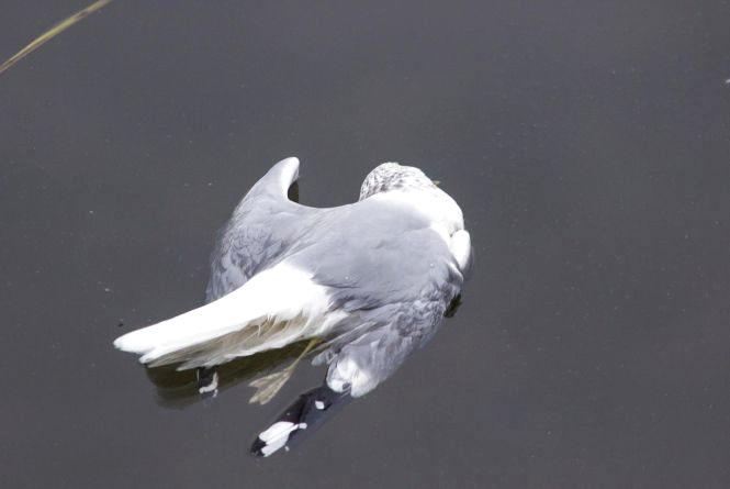 Птахи, яких знайшли мертвими на Ставі, отруїлися. Це підтвердили лабораторні дослідження