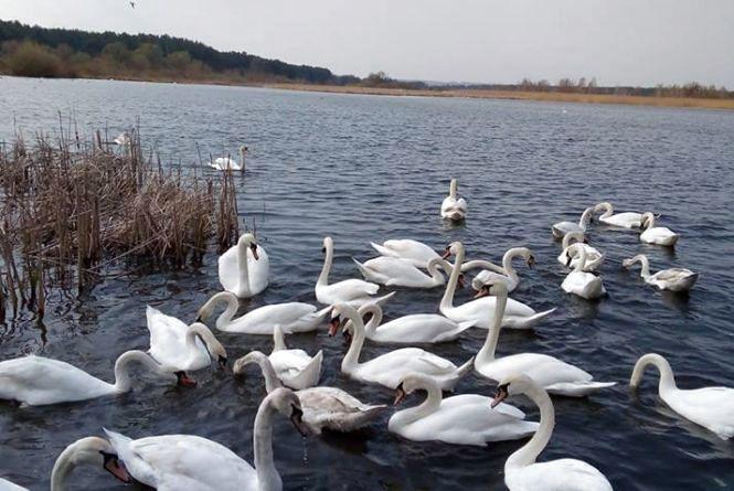 Кременчани публікують фото лебединої зграї, що зупинились на місцевому озері