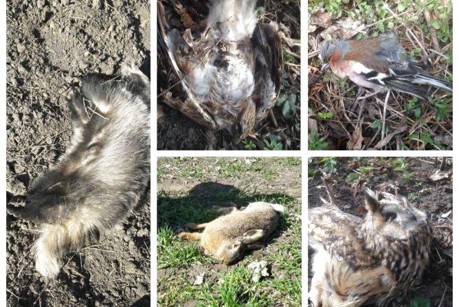 Мертві сови, сойки, зайці та борсуки. На полях Тернопільщини від отрутохімікатів гинуть звірі та птахи