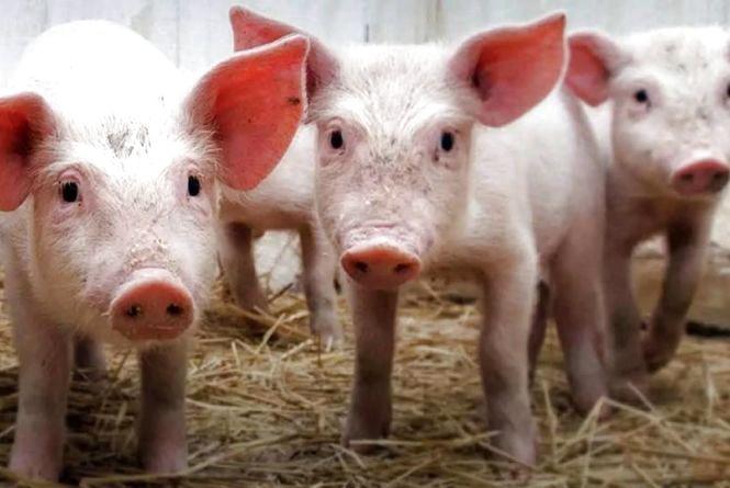 Кошти за вилучених ідентифікованих свиней, при спалахах АЧС, виділятимуть через Держпродспоживслужбу