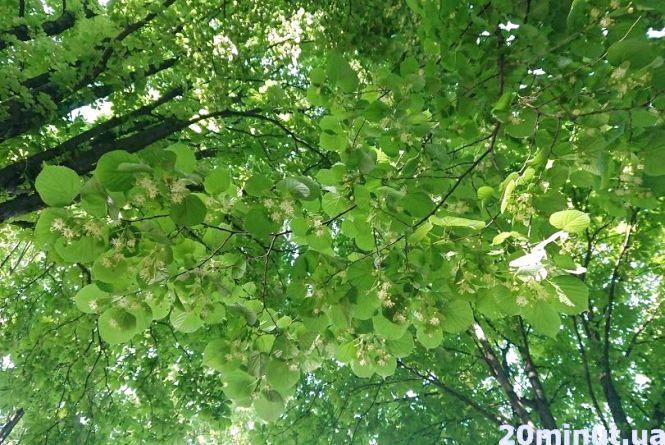 Нещастя в Тернопільському районі: чоловік рвав липу, впав з дерева і розбився