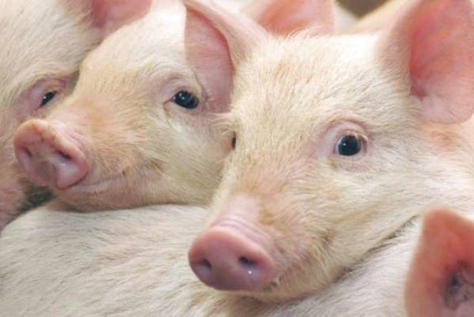 Африканську чуму свиней виявили на фермі в Підволочиському району