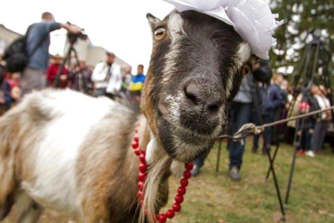 Селфі з козою, дитяча програма і премії власникам свійських тварин : у Козові готуються до фестивалю