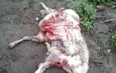Дев'ять пошматованих овець і жодної краплі крові. На Шумщині люди бояться пускати дітей на вулицю