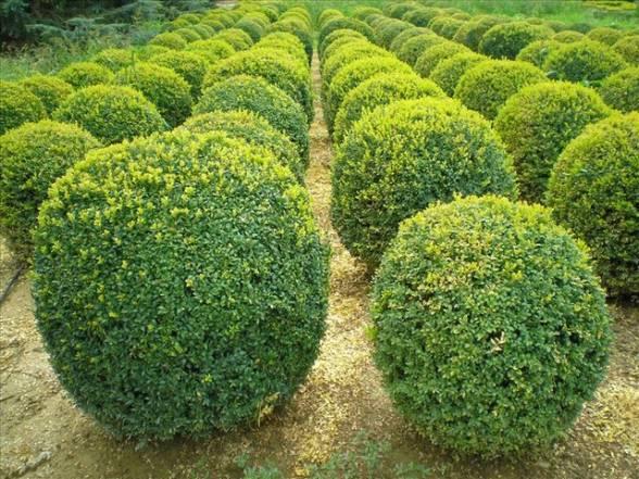 Вічнозелений самшит