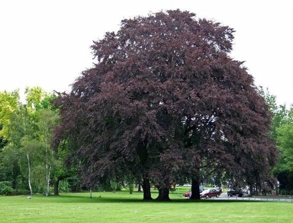 Бук лісовий із пурпуровим відтінком листя